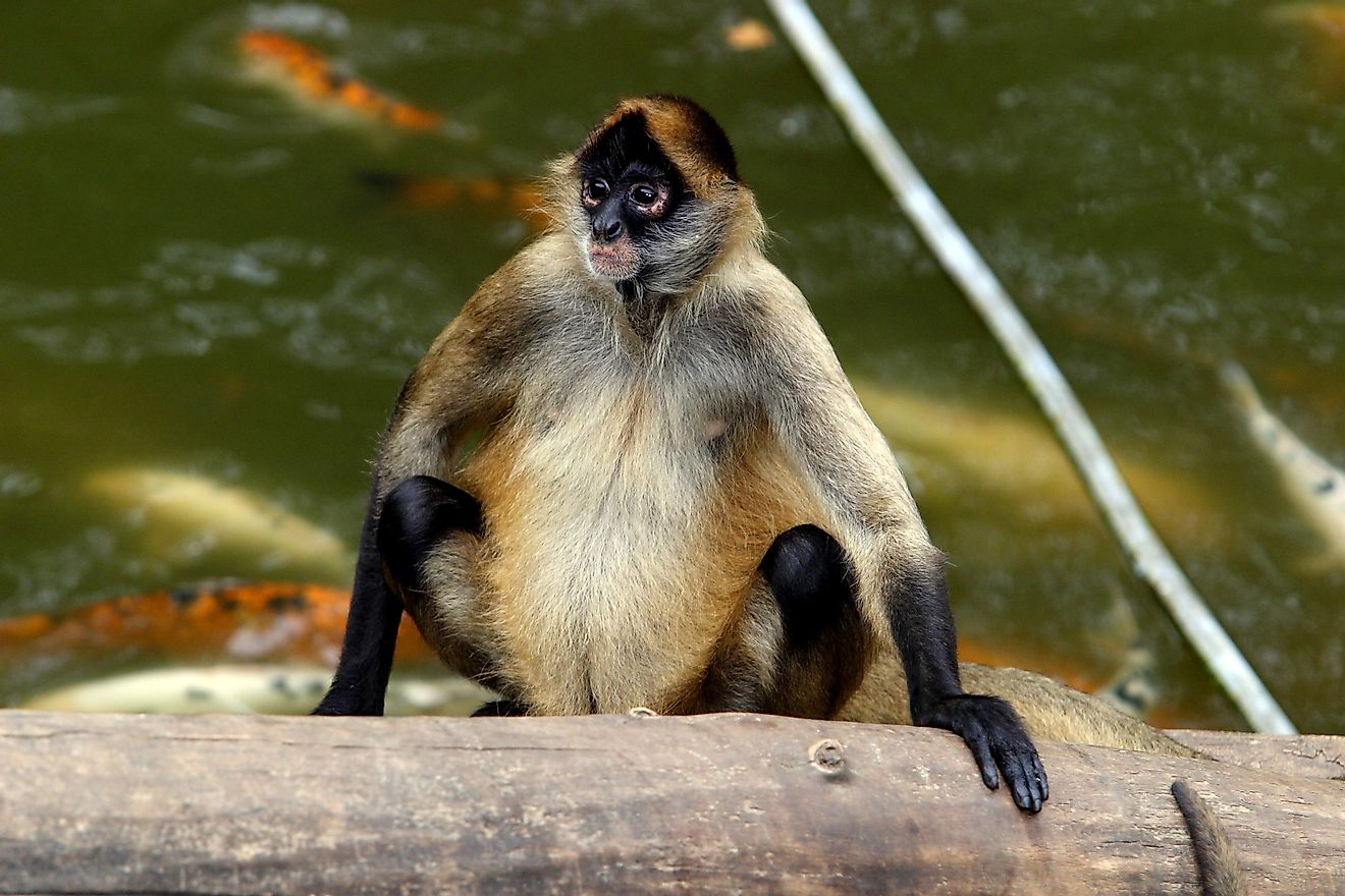 The brown spider monkey can be found in Colombia.