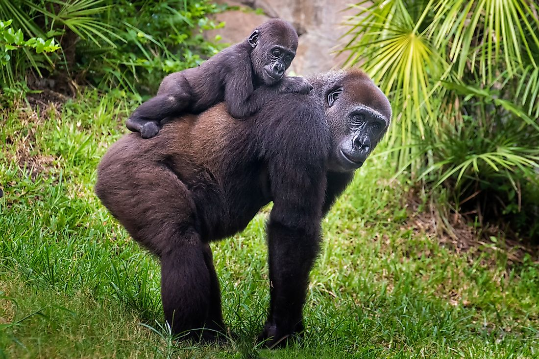 Gorillas are social animals, living in large family groups.