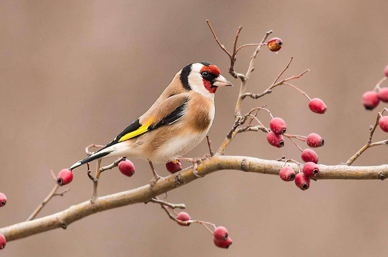 Goldfinch sitting on a branch.