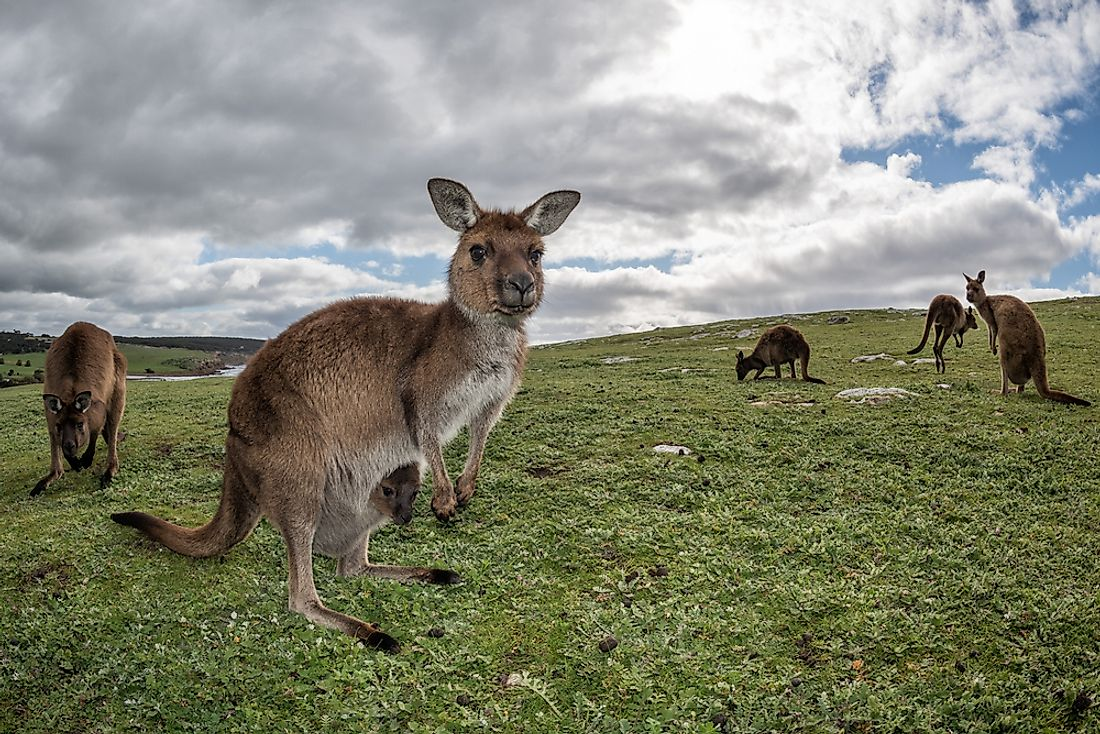 The kangaroo is a marsupial mammal that lives in Australia.