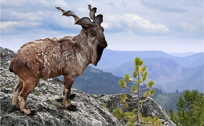 Markhor on rock in wildness area.
