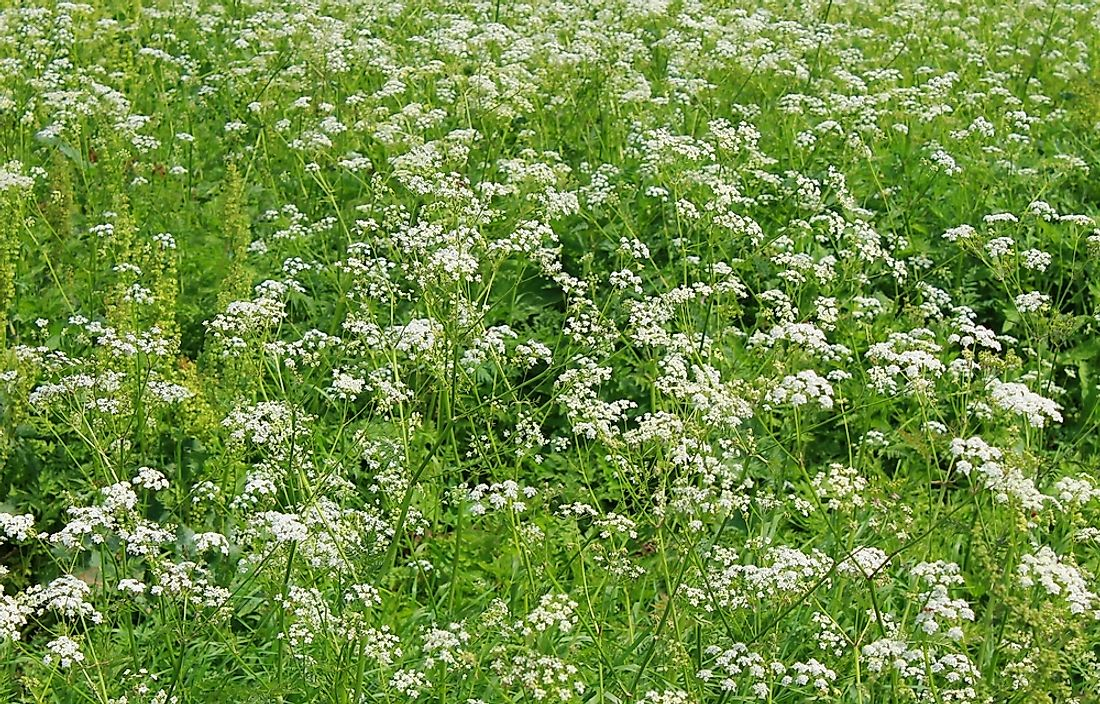 Water hemlock is a type of poisonous plant commonly found in the United States.