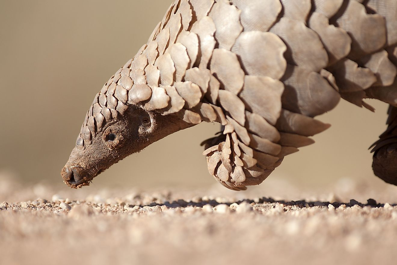 A pangolin hunting for ants on the ground.