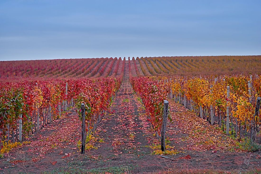 Rows of grapes during autumn at a Moldovan vineyard.