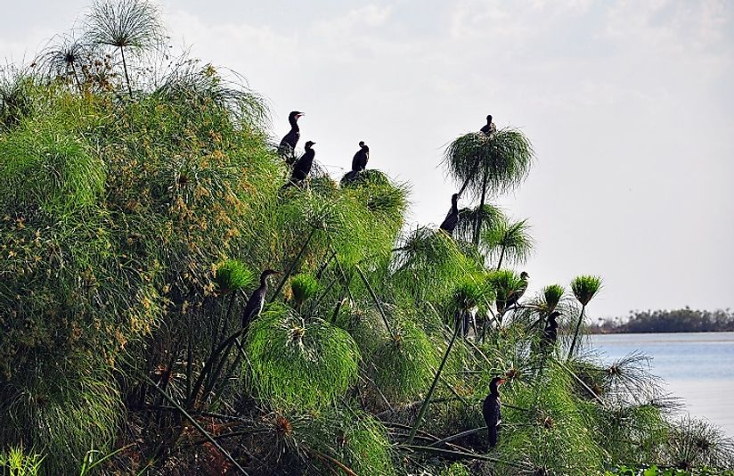Reed Cormorants roost on papyrus in Zambia's Kafue National Park in the Central Zambezian Miombo woodlands region.