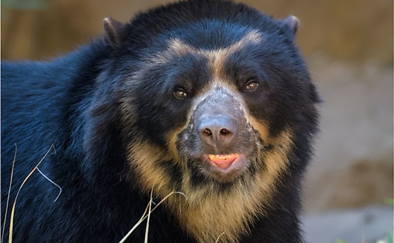 Closeup of an Andean bear.