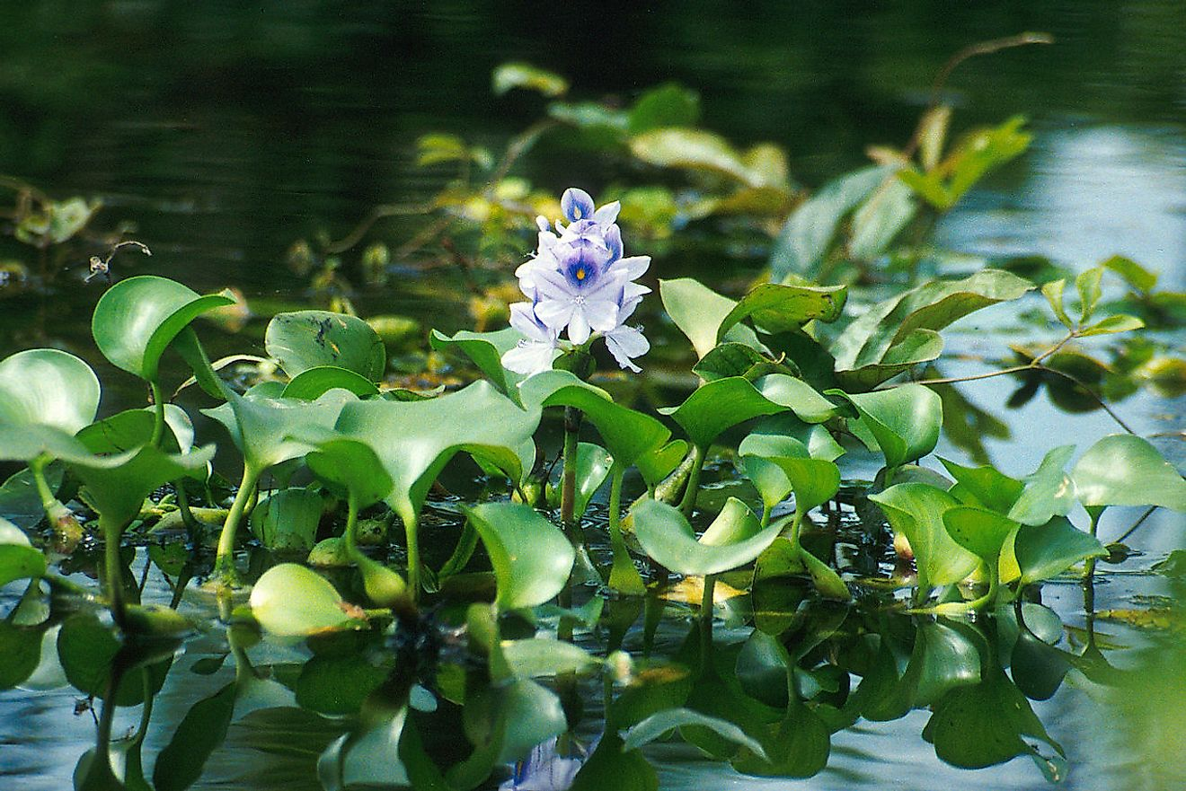 A water hyacinth plant with offsets. Image credit: Ted Center/Public domain