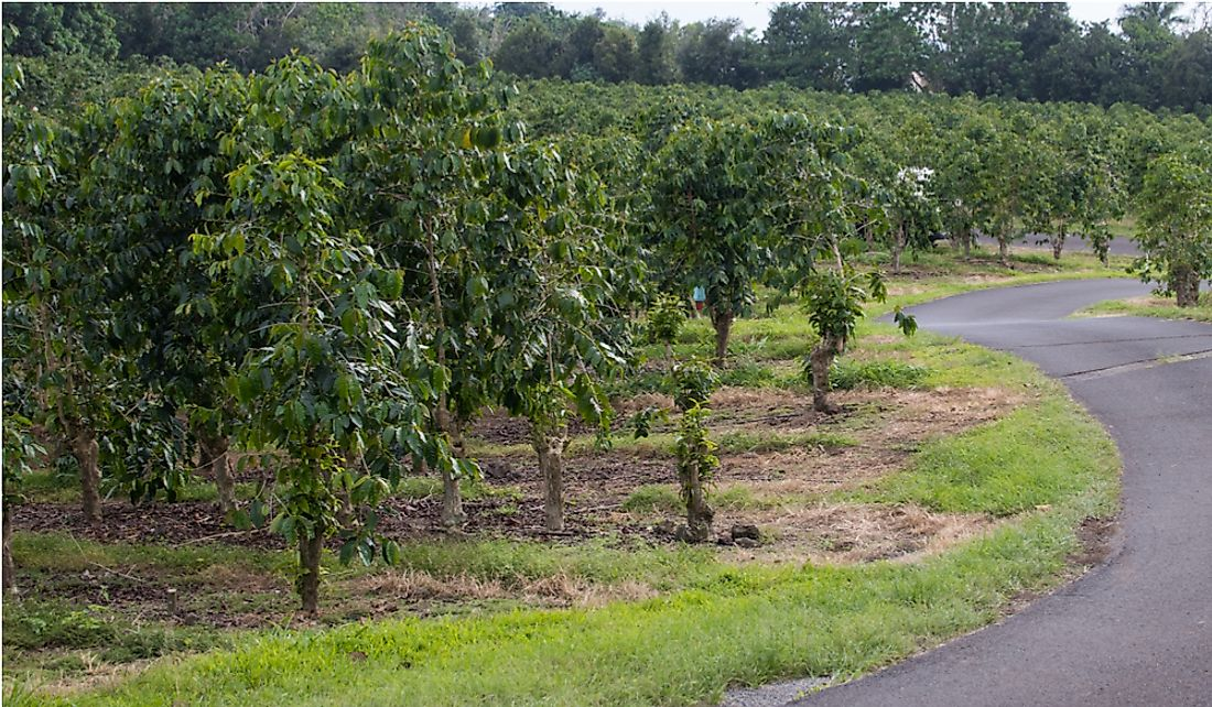 Kona coffee plantation of Hawaii's Big Island.