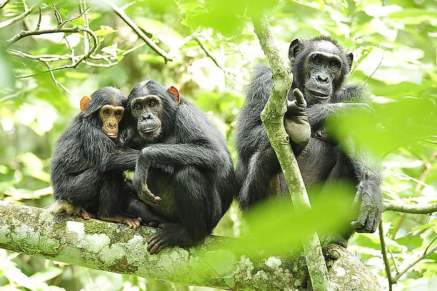 Chimpanzees in Ugandan forests.