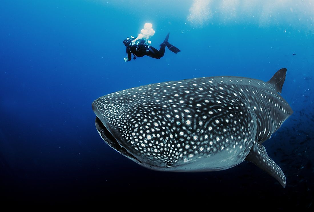 Whale sharks are found in tropical waters around the world.