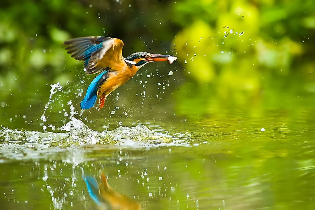 Fish are the major component of the diet of the kingfisher.