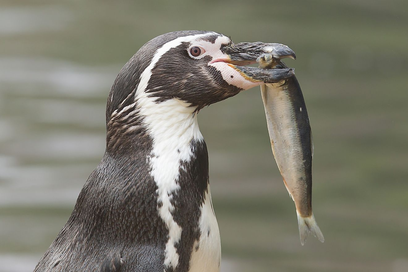 A penguin with fish in its mouth.