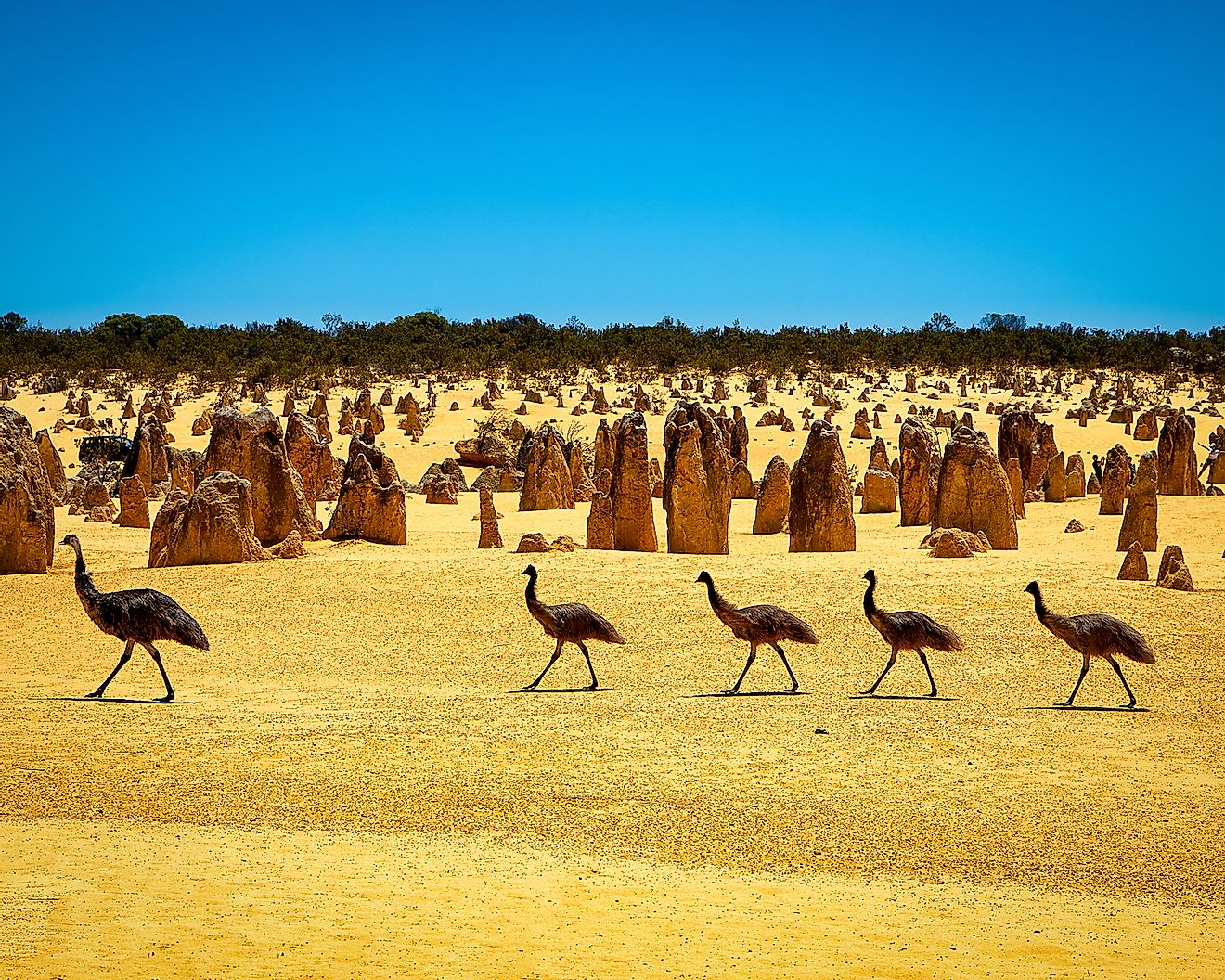 Emus at the Pinnacles Desert, WA, Australia. Image credit: mcography/Shutterstock.com