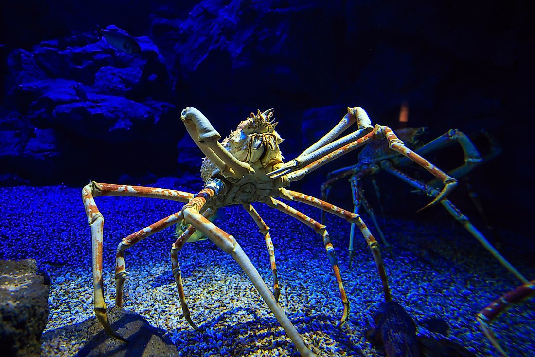 A giant spider crab in an aquarium.