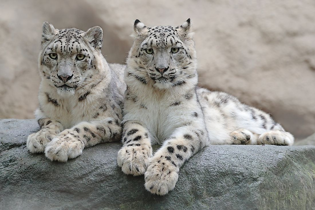 Snow leopards in India.