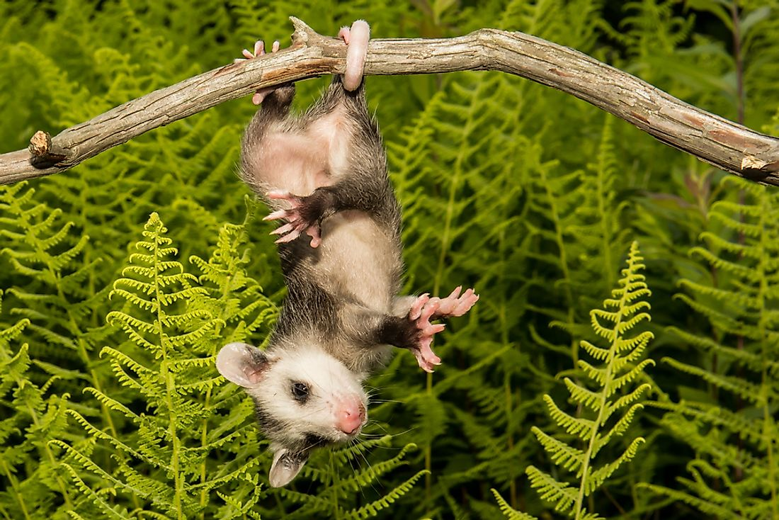 Opossum hanging from a branch.