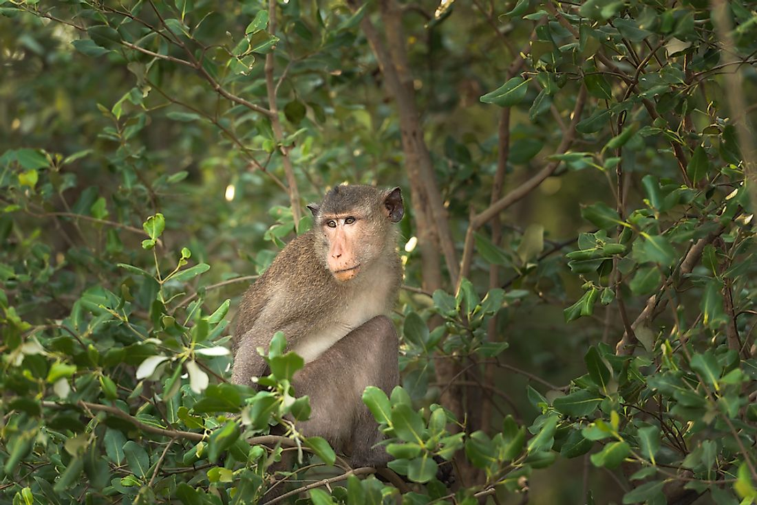 Rhesus macaques are native to the Southeast, Central, and South Asia.