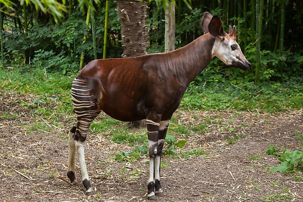 The okapi has a long neck and white stripes on its legs.