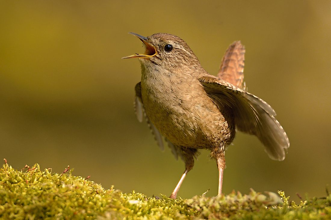 Wrens feed spiders to their young.