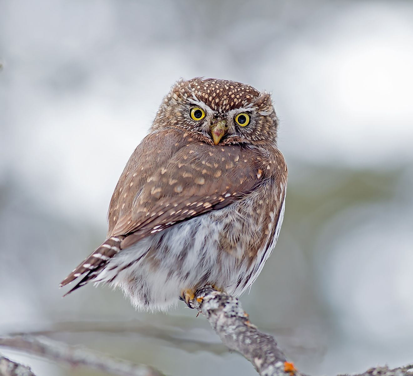 Northern Pygmy Owl is a small owl native to North and Central America.
