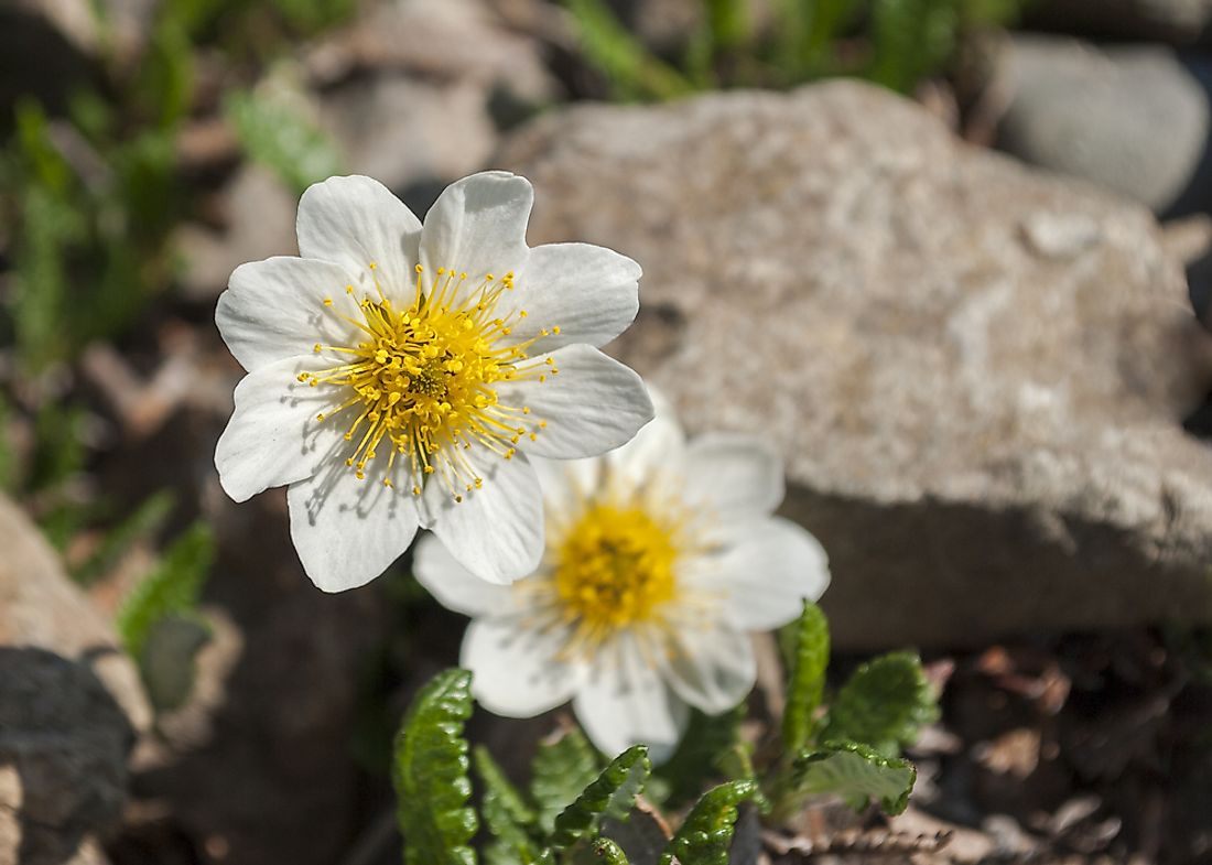 Mountain avens, the flower of the Northwest Territories.