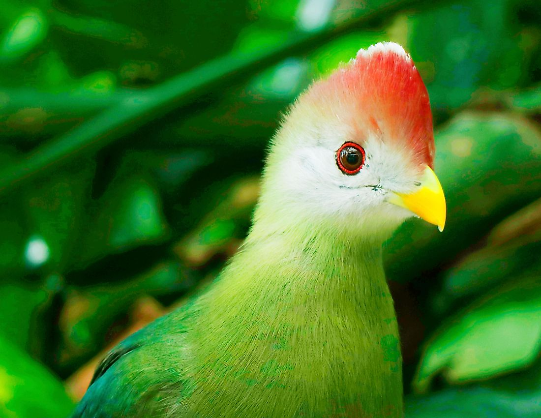 A fischer's turaco in the forest of Somalia.
