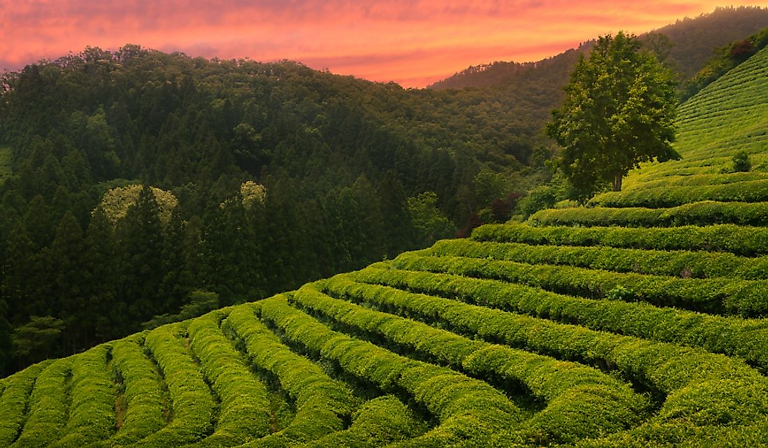 Green tea fields in South Korea.
