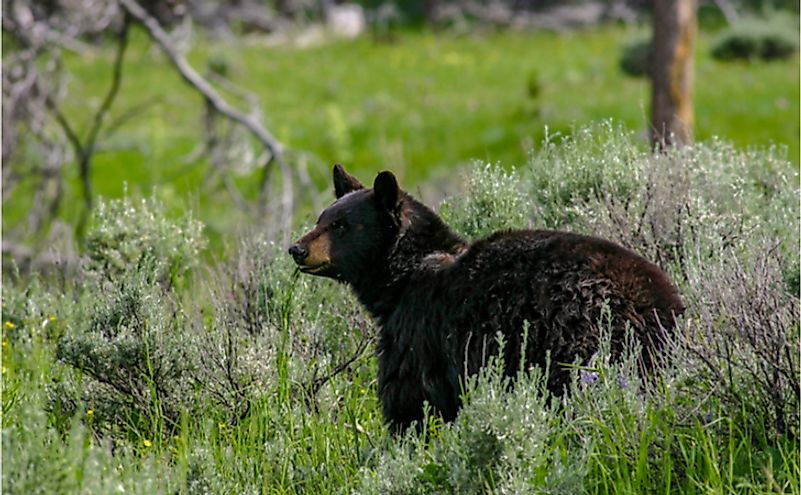 Wild black bear in Idaho.