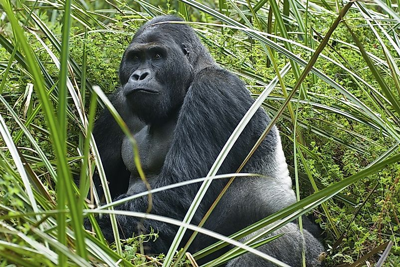 "Male Grauer's Gorilla with iconic ""silver back"", a sign of maturity."