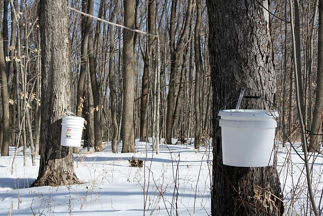 Maple sap being collected in a maple syrup farm in Canada.