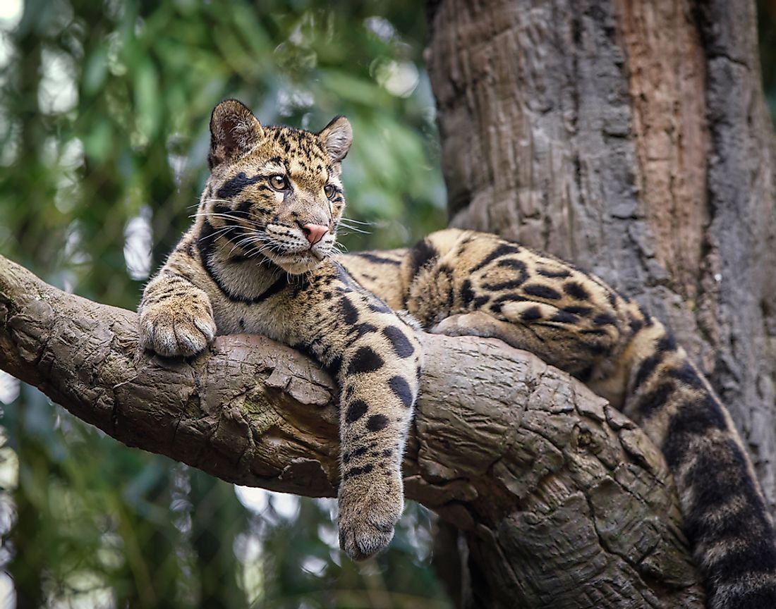 Like most large cats, Clouded Leopards are fierce hunters, and very independent in their behaviors.