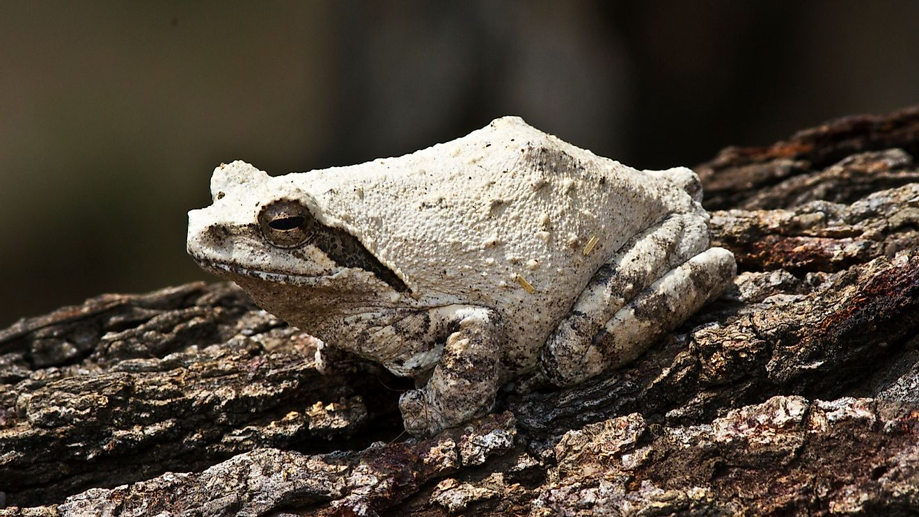 The Grey Ghost Frog or Foam-nest Frog turns a chalky white when it aestivates.