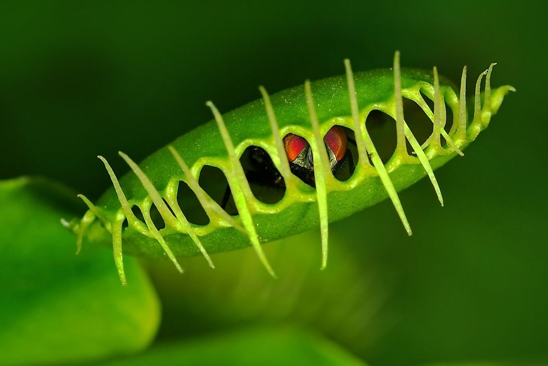 A venus fly trap is an example of an autotroph.