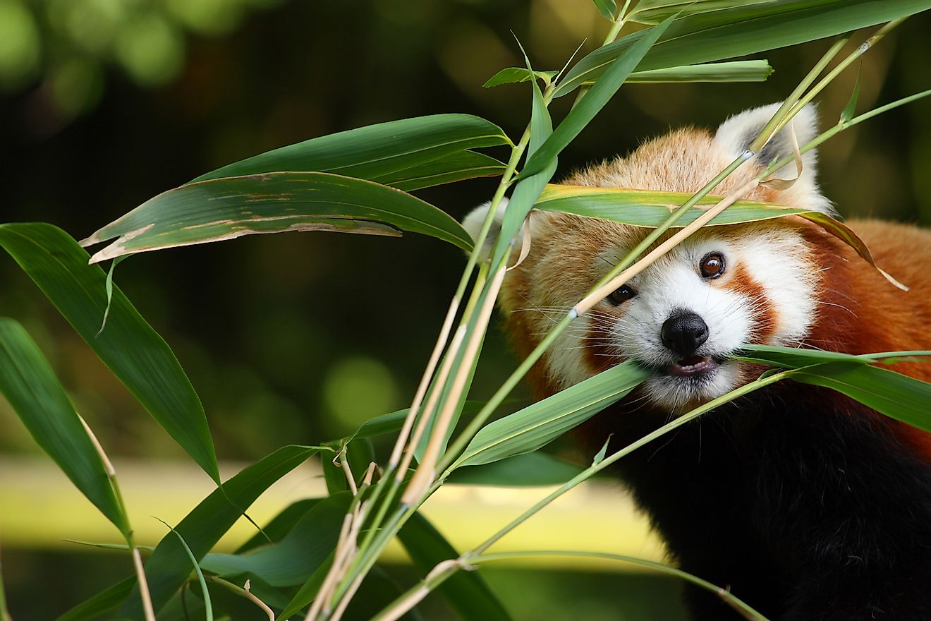 A red panda chewing bamboo leaves.