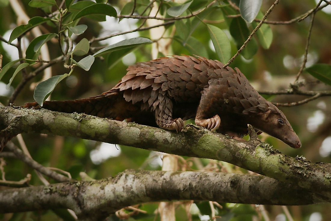 The rare Chinese Pangolin.