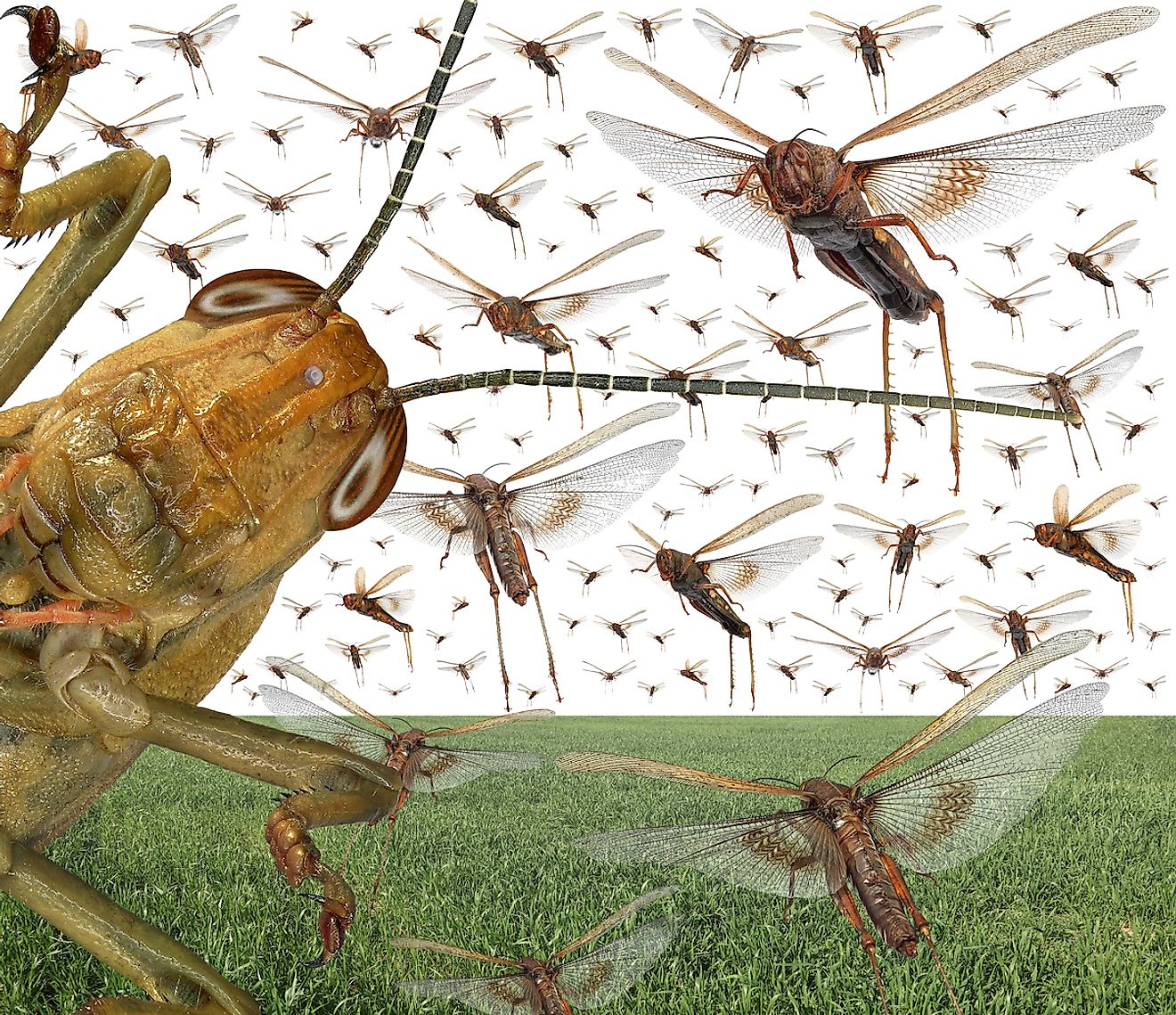 Migratory locust swarm above the cereal green field. Image credit: Protasov AN/Shutterstock.com