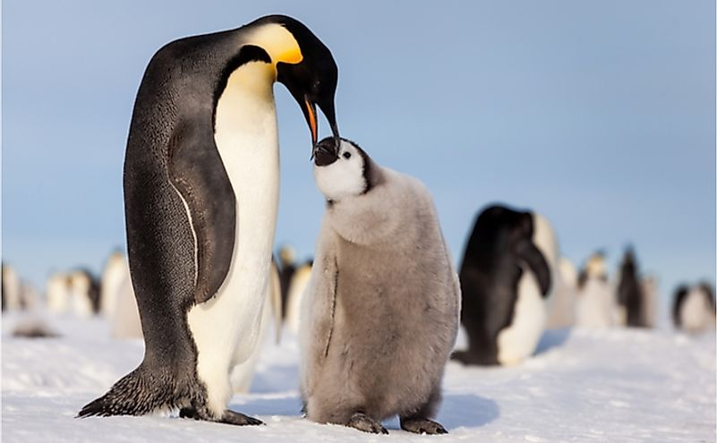 Emperor penguin chick requesting food from mother.
