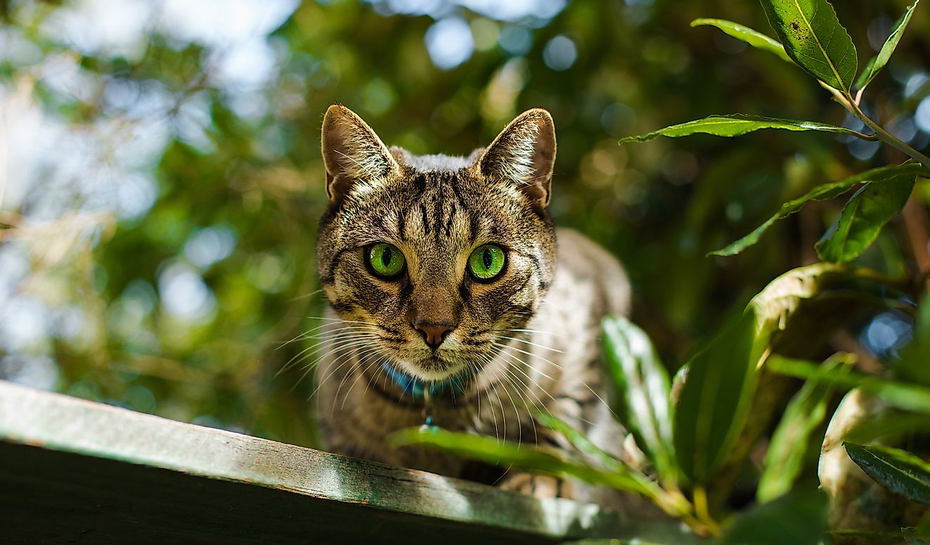 Beautiful cat with gorgeous green eyes in a summer garden in Auckland, New Zealand. Image credit: Coupek Martin/Shutterstock.com