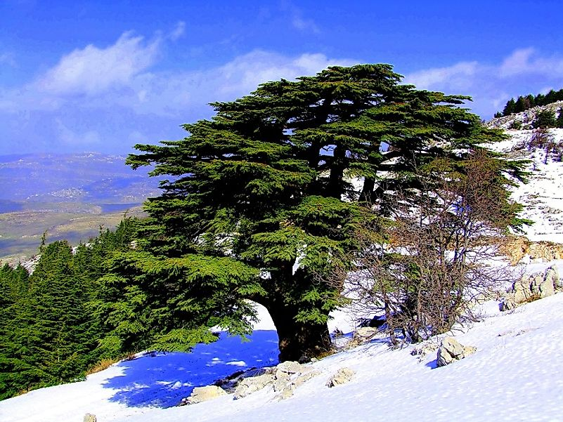 Cedars of Lebanon in the Al Shouf Nature Reserve.