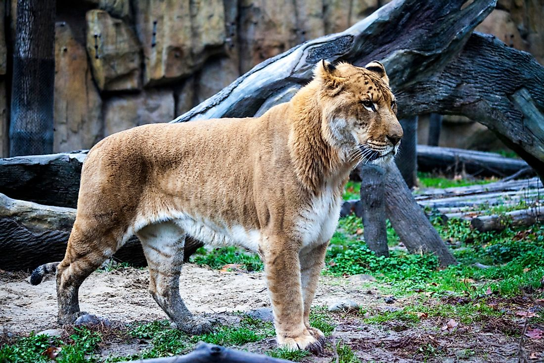Ligers tend be to larger than both their lion and tiger parents.
