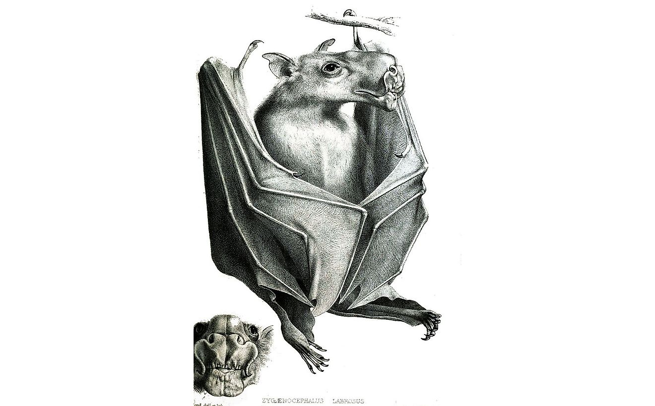 A drawing of the hammerhead bat from the Proceedings of the Zoological Society of London, 1862.