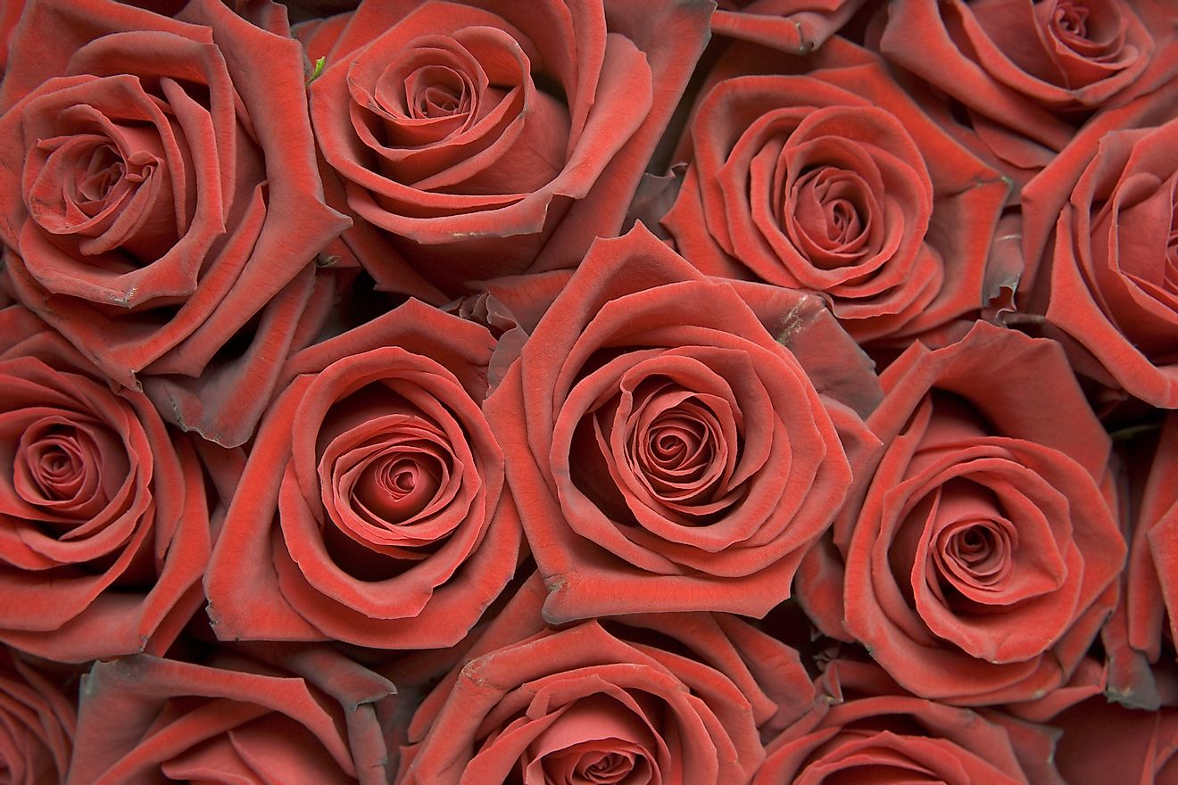 The cost of popular Valentine's Day gifts, such as roses, were taken into consideration by this study conducted by the florist Bloomy Days.