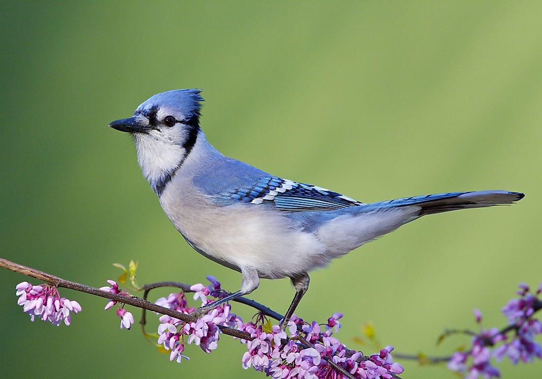 The blue jay is known for its blue coloring and prominent crest.