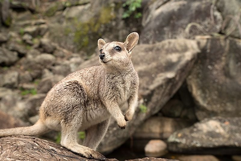 A young Wallaby stands upon a log.