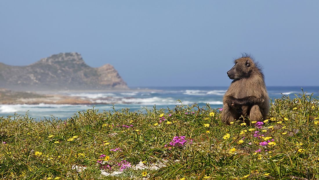 A chacma baboon near the Cape of Good Hope in South Africa.