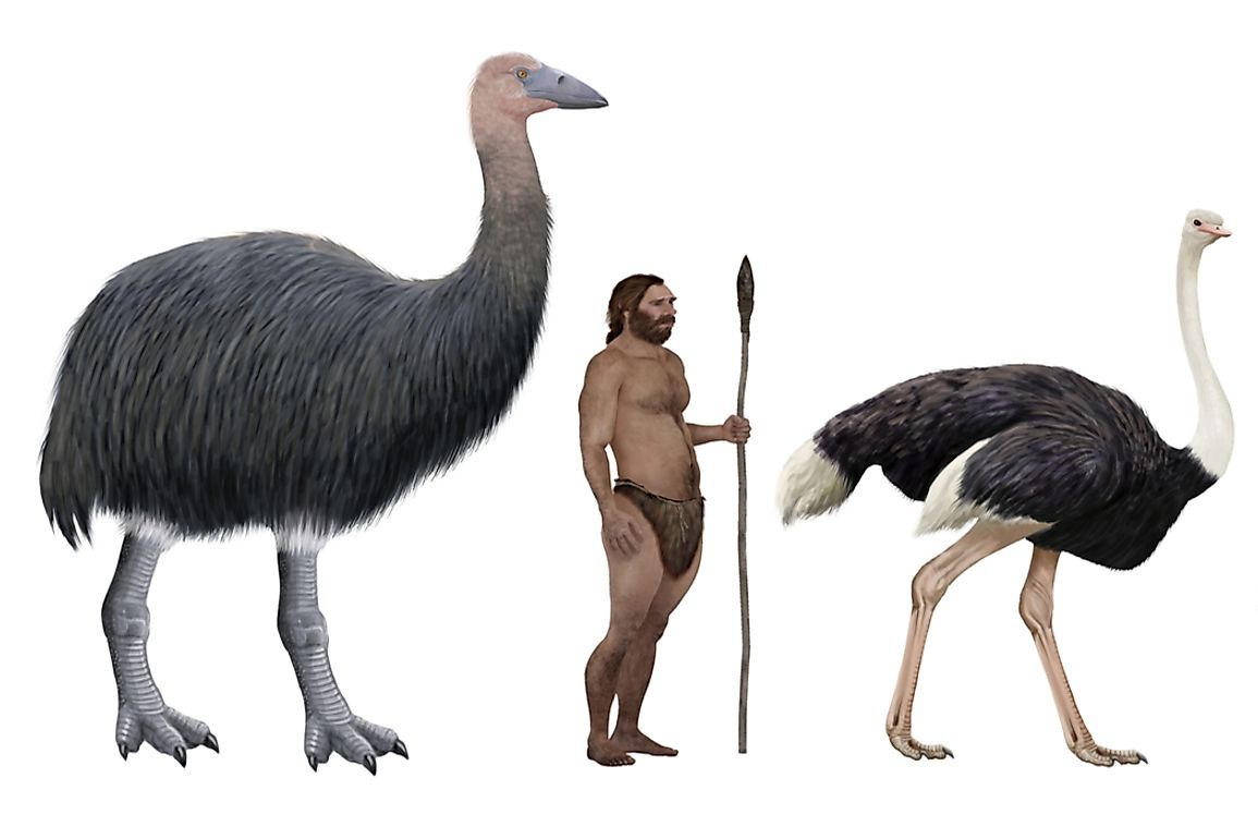 Size of the elephant bird in comparison to a human and an ostrich.