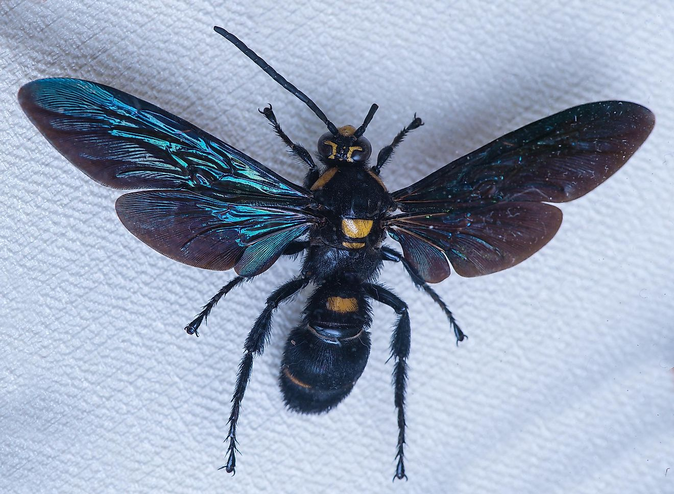 Giant Scoliid Wasps, also known as Megascolia procer, are solitary wasps that can be found around Indonesia.
