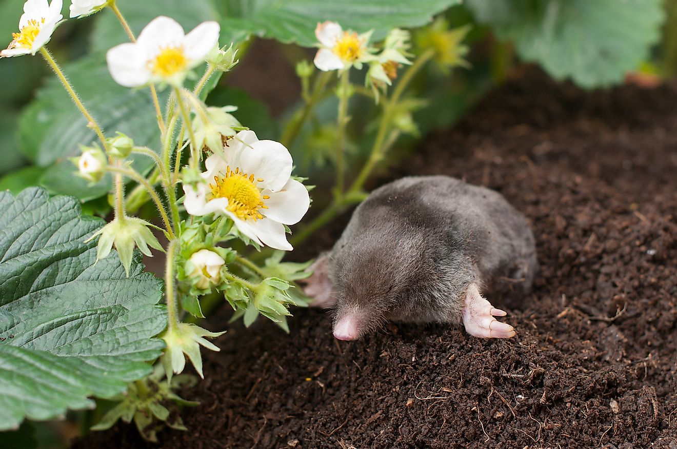 Mole out of a hole in a vegetable garden. Image credit: tchara/Shutterstock.com