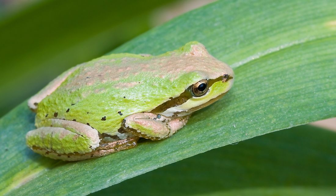 Pacific chorus frogs are normally green and brown with a black stripe.