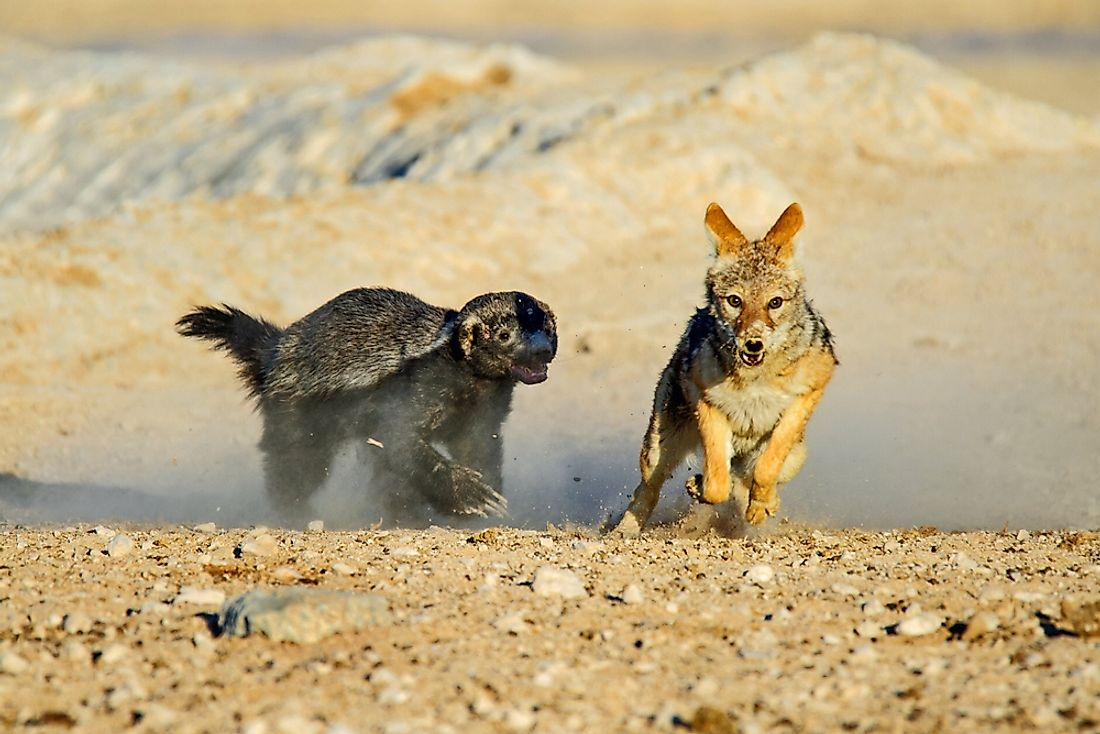Honey badger chasing a black backed jackal in etosha national park, Namibia.